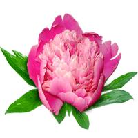 Многолетняя цветочная рассада