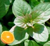 Мята Orangenminze (Апельсиновая)