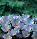 Крокус|Крокус ботанический Blue Pearl (Блю Перл)
