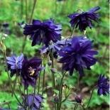 Аквилегия|Аквилегия обыкновенная Barlow Blue (Барлоу Блу)