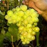 Виноград сорт  Московский белый