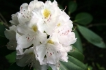 Рододендрон катевбинский Cunnighams White