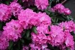 Рододендрон гибридный Roseum Elegans  (Розеум Элеганс)