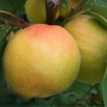 Персик сорт Донецкий белый