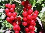 Смородина красная сорт Голландская красная