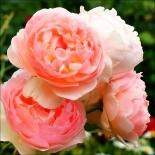 Роза миниатюрная Evelin (Евелин)
