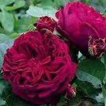 Роза английская Falstaff (Фальстаф)