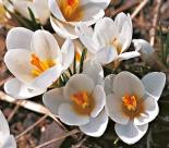 Крокус|Крокус ботанический ARD SCHENK