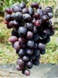 Виноград сорт Смоленский прорыв