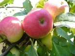 Яблоня сорт Орловское полосатое
