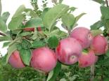 Яблоня сорт Спартан