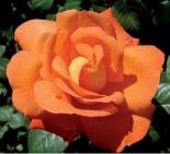 Розы|Роза чайно-гибридная Louis de Funes (Луи де Фюнес)