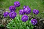 Примула|Примула мелкозубчатая Violet (Виолет)