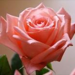 Роза чайно-гибридная Dolce Vita (Дольче Вита)