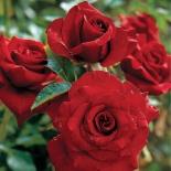 Роза чайно-гибридная Black Magic ( Блэк Мэджик)
