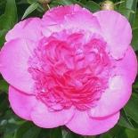 Пион молочноцветковый Bouquet Perfect (Букет Перфект)