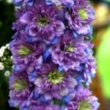 Дельфиниум шотландский Highlander Blueberry Pie (Хайлендер Блубе