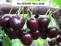 Черешня сорт 'Валерий Чкалов'
