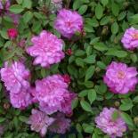 Роза миниатюрная Pompon de Paris (Помпон де Пари)
