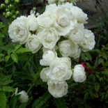 Роза миниатюрная White Dream (Вайт Дрим)