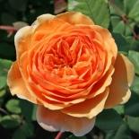 Роза кустовая Crown Princess Margaretha (Краун Принцесс Маргарет