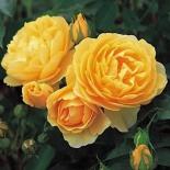 Роза английская Graham Thomas (Грэхем Томас)