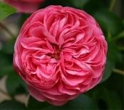 Роза флорибунда Leonardo da Vinci  (Леонардо да Винчи)