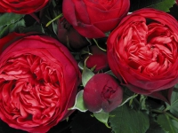 Роза кустовая Piano (Пиано)