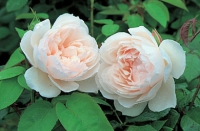 Роза кустовая The Generous Gardener (Зэ Дженероуз Гарднер)