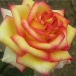 Роза чайно-гибридная Ambiance (Амбианс)
