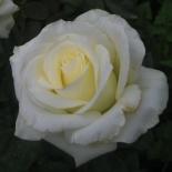 Роза чайно-гибридная Anastasia (Анастасия)