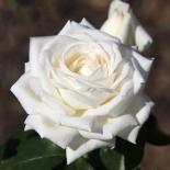 Роза чайно-гибридная Boeing (Боинг)