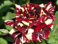 Роза чайно-гибридная Abracadabra (АбракадАбра)