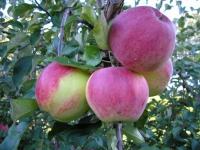 Яблоня сорт Уэлси