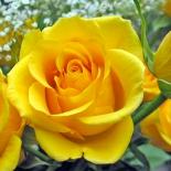 Роза чайно-гибридная Kerio (Керио)