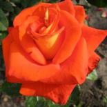 Роза чайно-гибридная Verano (Верано)