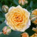 Роза миниатюрная Apricot Clementine (Априкот Клементине)