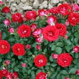 Роза миниатюрная Maidy (Мэйди)