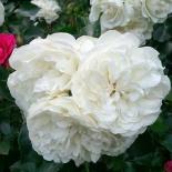 Роза миниатюрная White Jem (Вайт Джем)