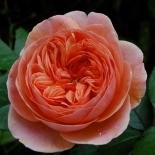 Роза кустовая Chippendale (Чиппендейл)