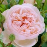 Роза кустовая Heritage (Хэритидж)