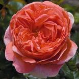Роза английская Summer Song (Саммер Сонг)