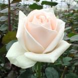 Роза чайно-гибридная Osiana (Осиана)