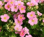 Лапчатка кустарниковая Pink Queen (Пинк Квин)