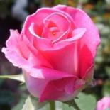 Роза чайно-гибридная Morning of Paris (Утро Парижа)