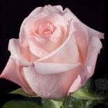 Роза чайно-гибридная Eva (Ева)