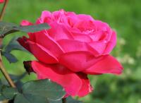 Роза чайно-гибридная Amalia (Амалия)