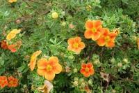 Лапчатка кустарниковая Hopley Orange (Хоплейс Оранж)