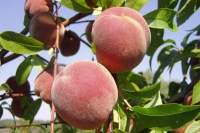 Персик сорт Киевский ранний