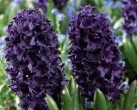 Гиацинт Махровый Blue Sapphire (Блю Сапфир)
